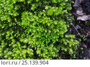 Купить «Swan's neck thyme moss (Mnium hornum) Hampstead Heath, London, England, UK. March.», фото № 25139904, снято 20 февраля 2018 г. (c) Nature Picture Library / Фотобанк Лори