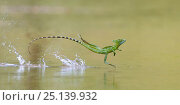 Купить «Green / Double-crested basilisk (Basiliscus plumifrons) running across water surface, Santa Rita, Costa Rica.», фото № 25139932, снято 19 января 2019 г. (c) Nature Picture Library / Фотобанк Лори