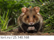 Купить «European hamster (Cricetus cricetus) juvenile feeding, in grass, captive.», фото № 25140168, снято 25 марта 2020 г. (c) Nature Picture Library / Фотобанк Лори
