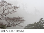 Купить «Trees in mist, Yakushima Island, Japan, November 2008.», фото № 25140512, снято 6 июля 2020 г. (c) Nature Picture Library / Фотобанк Лори