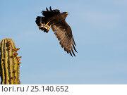Harris' hawk (Parabuteo unicinctus) taking off from cactus, calling, Vizcaino Desert, Baja California, Mexico, May. Стоковое фото, фотограф Cyril Ruoso / Nature Picture Library / Фотобанк Лори