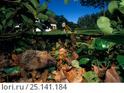 Купить «Common hedgehog (Erinaceus europaeus) amongst leaves in hedge, with person mowing lawn in the background, France.», фото № 25141184, снято 18 августа 2018 г. (c) Nature Picture Library / Фотобанк Лори