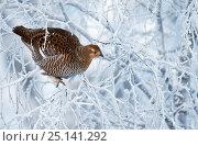 Купить «Female Black grouse (Tetrao / Lyrurus tetrix) perched in tree covered in snow, Inari Kiilopaa, Finland, January.», фото № 25141292, снято 16 февраля 2019 г. (c) Nature Picture Library / Фотобанк Лори