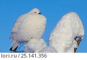 Купить «Willow grouse / Ptarmigan (Lagopus lagopus) fluffed up perched in snow, Inari, Finland, February.», фото № 25141356, снято 19 февраля 2019 г. (c) Nature Picture Library / Фотобанк Лори
