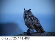 Eagle owl (Bubo bubo) in front of misty landscape, Rogaland, Norway, May. Стоковое фото, фотограф Pal Hermansen / Nature Picture Library / Фотобанк Лори