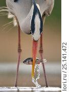 Купить «Grey heron (Ardea cinerea) catching fish in lake, Pusztaszer, Hungary, April», фото № 25141472, снято 17 июля 2018 г. (c) Nature Picture Library / Фотобанк Лори