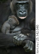 Купить «Western lowland gorilla (Gorilla gorilla gorilla) baby sleeping in mother's arms, captive, occurs in Central Africa. Critically endangered.», фото № 25142040, снято 19 сентября 2019 г. (c) Nature Picture Library / Фотобанк Лори