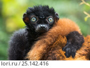 Купить «Blue-eyed / Sclater's black lemur (Eulemur flavifrons) male with arm on female's back, captive, endemic to Madagascar., Critically Endangered.», фото № 25142416, снято 24 апреля 2019 г. (c) Nature Picture Library / Фотобанк Лори