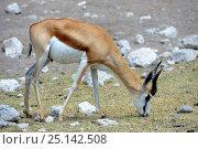 Springbok (Antidorcas marsupialis) grazing during dry season, Etosha National Park, Namibia, Africa. Стоковое фото, фотограф Eric Baccega / Nature Picture Library / Фотобанк Лори