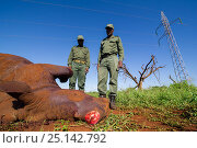 Купить «Rangers looking at dead  White Rhino (Ceratotherium simum) The Rhino was killed accidentally by its mother. The horn was cut by the rangers, to save it from poachers. Mkuze, South Africa», фото № 25142792, снято 23 марта 2019 г. (c) Nature Picture Library / Фотобанк Лори