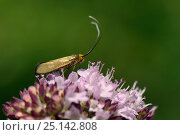 Купить «Female Brassy longhorn moth (Nemophora metallica) on a Wild marjoram (Origanum vulgare) flowerhead in chalk grassland, UK, July.», фото № 25142808, снято 16 октября 2019 г. (c) Nature Picture Library / Фотобанк Лори