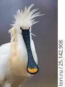 Купить «Spoonbilll (Platalea leucorodia) portrait, Lake Csaj, Kiskunsagi National Park, Pusztaszer, Hungary. February.», фото № 25142908, снято 17 июля 2018 г. (c) Nature Picture Library / Фотобанк Лори