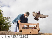 Купить «Pigeon fancier wearing a face mask releasing his Racing pigeons (Columba livia) from a crate for a training flight back to their loft, Goldcliff, Monmouthshire, Wales, UK, August 2011, Model released.», фото № 25142932, снято 26 сентября 2018 г. (c) Nature Picture Library / Фотобанк Лори