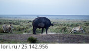 Купить «Cape Buffalo male (Syncerus caffer) in confrontation with lions (Panthera leo). Masai Mara National Reserve, Kenya.», фото № 25142956, снято 17 августа 2018 г. (c) Nature Picture Library / Фотобанк Лори