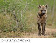 Купить «Hyaena (Crocuta crocuta) iMfolozi National Park, South Africa», фото № 25142972, снято 24 июня 2019 г. (c) Nature Picture Library / Фотобанк Лори