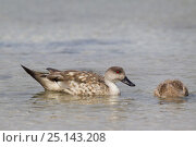 Купить «Crested duck (Lophonetta specularioides) with duckling feeding in shallow water just off the beach, Carcass Island, Falkland Islands, South Atlantic, December.», фото № 25143208, снято 27 мая 2020 г. (c) Nature Picture Library / Фотобанк Лори