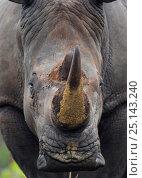 Купить «White rhinoceros (Ceratotherium simum) close up portrait,  iMfolozi National Park, South Africa», фото № 25143240, снято 15 февраля 2019 г. (c) Nature Picture Library / Фотобанк Лори