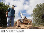 Купить «Pigeon fancier wearing a protective face mask watching his Racing pigeons (Columba livia) flying out of a crate for a training flight back to their loft...», фото № 25143580, снято 19 августа 2018 г. (c) Nature Picture Library / Фотобанк Лори
