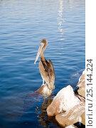 Купить «Brown pelican (Pelecanus occidentalis) Loreto, Sea of Cortez, Baja California, Mexico, East Pacific Ocean.», фото № 25144224, снято 20 апреля 2019 г. (c) Nature Picture Library / Фотобанк Лори