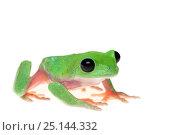 Купить «Morelet's tree frog (Agalychnis moreletii) captive occurs in Central America. Critically endangered species.», фото № 25144332, снято 21 апреля 2019 г. (c) Nature Picture Library / Фотобанк Лори