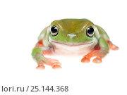 Купить «Green tree frog (Litoria caerulea) portrait, captive occurs in Australia and New Guinea.», фото № 25144368, снято 20 июля 2019 г. (c) Nature Picture Library / Фотобанк Лори