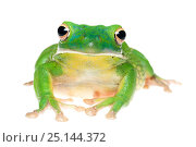 Купить «White-lipped tree frog (Litoria infrafrenata) captive, occurs in Northern Australia and New Guinea.», фото № 25144372, снято 20 июля 2019 г. (c) Nature Picture Library / Фотобанк Лори