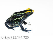 Купить «Dyeing poison arrow frog (Dendrobates tinctorius) captive, occurs in the Guiana Shield of South America.», фото № 25144720, снято 20 мая 2019 г. (c) Nature Picture Library / Фотобанк Лори