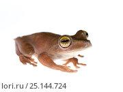 Купить «Troschel's tree frog (Hyla calcaratus) captive, occurs in South America.», фото № 25144724, снято 21 апреля 2019 г. (c) Nature Picture Library / Фотобанк Лори