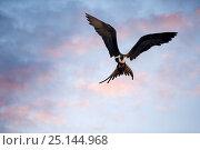 Купить «Frigatebird (Fregatidae) in flight at dawn, Galapagos Islands, April.», фото № 25144968, снято 18 июня 2019 г. (c) Nature Picture Library / Фотобанк Лори