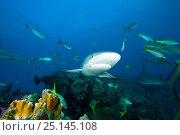 Купить «Grey reef sharks (Carcharhinus amblyrhynchos) Northern Bahamas, Caribbean Sea, Atlantic Ocean», фото № 25145108, снято 26 марта 2019 г. (c) Nature Picture Library / Фотобанк Лори
