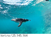 Купить «Galapagos penguin (Spheniscus mendiculus) underwater, Bartholome Island, Galapagos Islands, East Pacific Ocean», фото № 25145164, снято 23 мая 2019 г. (c) Nature Picture Library / Фотобанк Лори