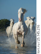 Купить «White horses of the Camargue galloping through marshes in the Camargue, France. April.», фото № 25145216, снято 16 августа 2018 г. (c) Nature Picture Library / Фотобанк Лори