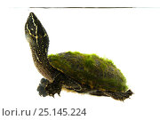 Купить «Common musk turtle (Sternotherus odoratus) Oxford, Mississippi, USA. April. Meetyourneighbours.net project», фото № 25145224, снято 19 июля 2018 г. (c) Nature Picture Library / Фотобанк Лори