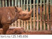 Купить «Blind Black rhino (Diceros bicornis) in David Sheldrick African Elephant orphanage. Nairobi National Park, Nairobi, Kenya.», фото № 25145656, снято 18 августа 2018 г. (c) Nature Picture Library / Фотобанк Лори