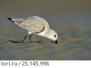 Sanderling (Calidris alba) in winter plumage foraging on the Altamaha Estuary. Glynn County, Georgia. USA, October. Стоковое фото, фотограф Gerrit Vyn / Nature Picture Library / Фотобанк Лори