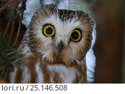 Northern saw-whet owl (Aegolius acadicus) roosting. Washington, USA. February. Стоковое фото, фотограф Gerrit Vyn / Nature Picture Library / Фотобанк Лори