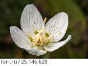 Купить «Grass-of-parnassus (Parnassia palustris) flower, Peak District National Park, Derbyshire, UK. September.», фото № 25146628, снято 17 декабря 2017 г. (c) Nature Picture Library / Фотобанк Лори