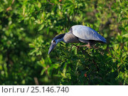 Купить «Boat-billed heron (Cochlearius cochlearius) perched, Ria Lagartos Biosphere Reserve, Mexico. July.», фото № 25146740, снято 17 июня 2019 г. (c) Nature Picture Library / Фотобанк Лори