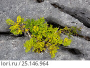 Купить «Stunted Ash tree (Fraxinus excelsior) growing in limestone pavement gryke, Gait Barrows National Nature Reserve, Lancashire, UK. September.», фото № 25146964, снято 17 декабря 2017 г. (c) Nature Picture Library / Фотобанк Лори