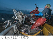 Купить «Fishermen haul in set gill net whilst fishing for Sockeye salmon (Oncorhynchus nerka) at night, Graveyard Point, Bristol Bay, Alaska, USA, July 2015. Model released.», фото № 25147076, снято 21 сентября 2018 г. (c) Nature Picture Library / Фотобанк Лори