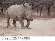 Купить «White rhinoceros (Cerototherium simum) Kharma Rhino Sanctuary, Serowe, Botswana.», фото № 25147080, снято 18 августа 2018 г. (c) Nature Picture Library / Фотобанк Лори