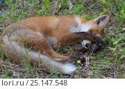 Купить «Red fox (Vulpes vulpes) sleeping, South Karelia, Finland, June.», фото № 25147548, снято 18 апреля 2019 г. (c) Nature Picture Library / Фотобанк Лори