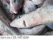 Купить «Dogfish (Squalidae) on boat, deck Georges Bank off Massachusetts, New England, USA, May 2015.», фото № 25147624, снято 27 марта 2019 г. (c) Nature Picture Library / Фотобанк Лори