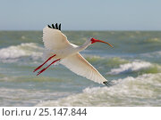 Купить «White ibis (Eudocimus albus) in flight, Fort Myers Beach, Gulf Coast, Florida, USA, March.», фото № 25147844, снято 9 декабря 2019 г. (c) Nature Picture Library / Фотобанк Лори