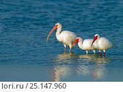 Купить «White ibis (Eudocimus albus) group of three standing in the water at Fort Myers beach, Gulf Coast, Florida, USA, March.», фото № 25147960, снято 9 декабря 2019 г. (c) Nature Picture Library / Фотобанк Лори