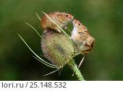 Купить «Harvest mice (Micromys minutus) on teasel seed head. Dorset, UK, August. Captive.», фото № 25148532, снято 24 октября 2018 г. (c) Nature Picture Library / Фотобанк Лори