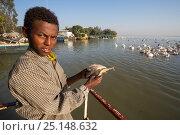 Купить «Young man feeding Great white pelican (Pelecanus onocrotalus) fish scraps. Bahir Dar, Lake Tana Biosphere Reserve, Ethiopia. December 2013.», фото № 25148632, снято 15 декабря 2017 г. (c) Nature Picture Library / Фотобанк Лори