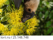 Spectacled flying fox (Pteropus conspicillatus) feeding on nectar... Стоковое фото, фотограф Jurgen Freund / Nature Picture Library / Фотобанк Лори