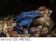 Купить «Blue poison dart frog (Dendrobates tinctorius azureus), adult, captive occurs in Suriname and Brazil.», фото № 25148932, снято 29 мая 2020 г. (c) Nature Picture Library / Фотобанк Лори