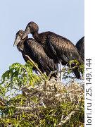 Купить «African opennbill (Anastomus lamelligerus) juvenile birds in rookery, Tana Mtsili Island, Lake Tana Biosphere Reserve, Ethiopia.», фото № 25149144, снято 20 июня 2019 г. (c) Nature Picture Library / Фотобанк Лори
